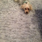 Weston -Dog-carpet-clean