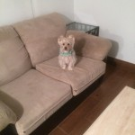 Weston -Sofa-Pet-Stain-Cleaning